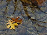 Oak Leaves Floating in Stream