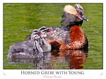 Horned Grebe with Young (Podiceps Auritus)