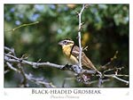 Black-headed Grosbeak (Pheucticus melanocep)