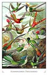 Hummingbirds (Tochilidae)