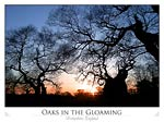 Oaks in the Gloaming