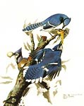 Blue Jays by John Audubon