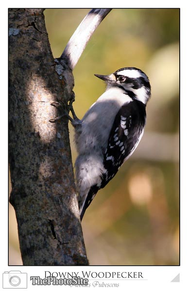 Downy Woodpecker (Picoides pubescens) - Click Image to Close