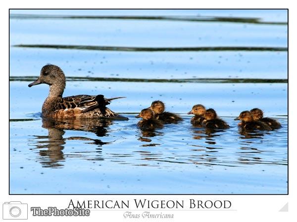 American Wigeon Brood (Anas americana) - Click Image to Close