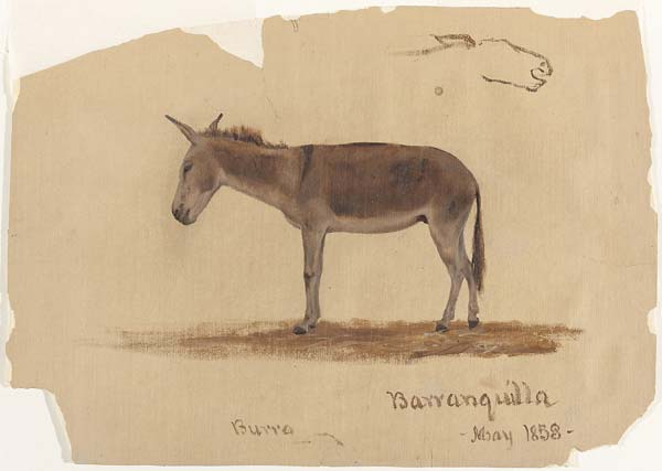 A Donkey, Baranquilla, Columbia - Click Image to Close