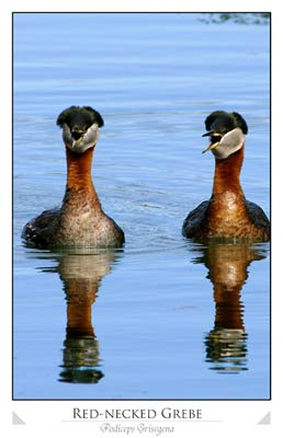 Red-necked Grebe Pair (Podiceps Grisegena)