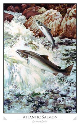 Atlantic Salmon (Salmon salar)