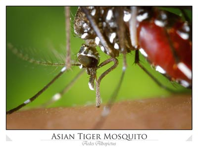 Aedes albopictus mosquito feeding on human blood