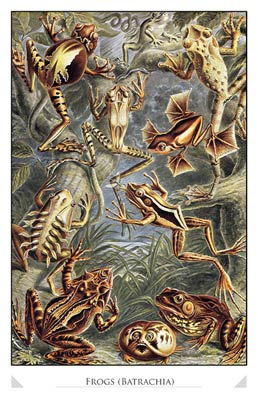Frogs (Batrachia)