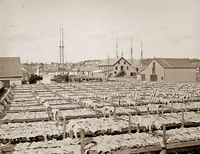 Drying out fish, Gloucester, Massachusetts 1906