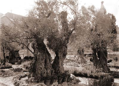 Old trees in the Garden of Gethsemane