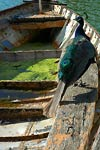 Peacock sitting on eroded boat, Bois de Boulogne, Paris