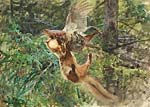 Forest scene with pine marten attacking a Black Grouse Hen